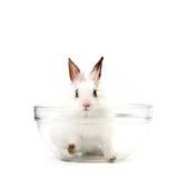 White Rabbit in Salad Bowl. Little White Domestic Rabbit in Salad Bowl Stock Photo