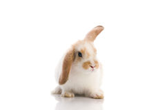 White rabbit,shoot in the studio Stock Photos