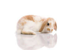 White rabbit,shoot in the studio Stock Images
