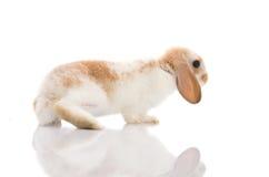 White rabbit,shoot in the studio Stock Photography
