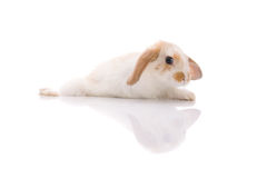 White rabbit,shoot in the studio Royalty Free Stock Images