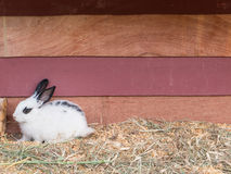 White rabbit sit at wooden cage Royalty Free Stock Photo