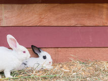 White rabbit sit at wooden cage Royalty Free Stock Images