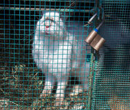 White rabbit sits in a cage Stock Images
