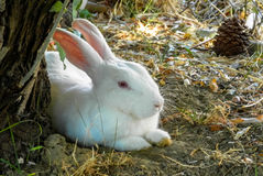 White rabbit. Sits under a tree Stock Photography