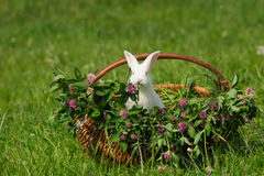 White rabbit sitting in the basket Royalty Free Stock Photos