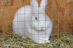 White rabbit sitting in a cage Royalty Free Stock Photo