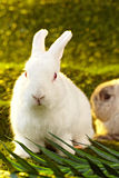 White Rabbit Royalty Free Stock Photos