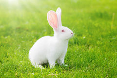 White rabbit sitting in grass Stock Photos