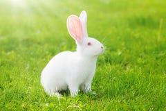 White rabbit sitting in grass Stock Photos