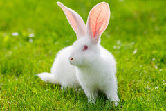 White rabbit Royalty Free Stock Photo