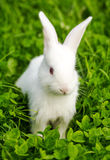 White rabbit sitting in green grass Royalty Free Stock Images
