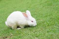 White rabbit sitting on the green grass in summer day Royalty Free Stock Photos