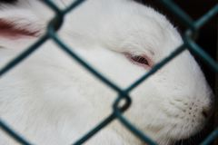 White rabbit sitting in steel mesh cage, close-up. farm animals concept royalty free stock photo
