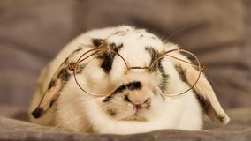 White rabbit sitting. A white dwarf rabbit, of the ram rabbit breed, with glasses, sits calmly on a pillow. Interior lighting