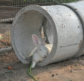 White rabbit sleeping in the hole during summer day Royalty Free Stock Photo