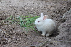 White rabbit. A small white rabbit near his home Stock Photos