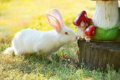 White rabbit sniffing wooden model of mushrooms. Close-up Royalty Free Stock Images