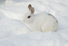 White rabbit in snow Stock Photos