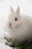 White rabbit in the snow Royalty Free Stock Photo