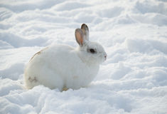 White rabbit in snow profile Royalty Free Stock Photography