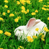 White rabbit on the summer dandelion Royalty Free Stock Photography