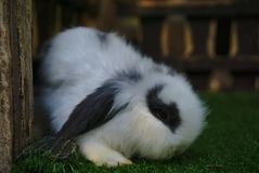 White rabbit with thick fur on green grass stock photos