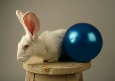White rabbit and a toy ball Royalty Free Stock Photo