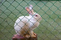 The white rabbit is trapped in a steel cage. stock photo