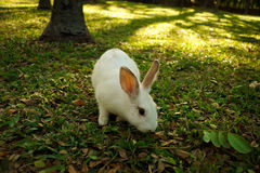 White rabbit is walking in the forest Royalty Free Stock Image