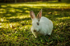White rabbit is walking on the glade Stock Photo