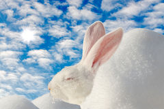 White rabbit warm up on the winter sun Royalty Free Stock Photography