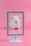 White rabbit in white picture frame on pink background Royalty Free Stock Photo