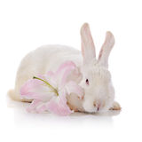 White rabbit and white-pink lily. Stock Images