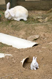 White rabbits Royalty Free Stock Images