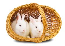 White rabbits in basket. Two white rabbits in basket. Isolated on white background Stock Images