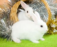 White rabbits in basket. Two white rabbits in basket against spangle on green Stock Images