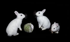 White rabbits and cabbage on a black background. Royalty Free Stock Photo