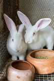 White rabbits in the cage Stock Images