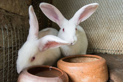 White rabbits in the cage Royalty Free Stock Image