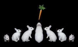 White rabbits with carrots on a black background. Pretty, fluffy, pets. Royalty Free Stock Photography