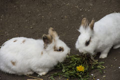 White rabbits eating in the zoo. White rabbits eating in the nature zoo Stock Photography