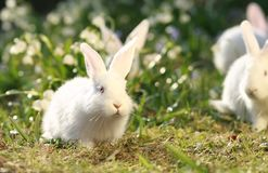 White rabbits on green meadow Royalty Free Stock Photos