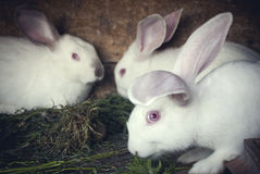White rabbits in a hutch Royalty Free Stock Photography