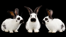 White rabbits Royalty Free Stock Photography