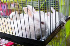 White rabbits in petshop Stock Images