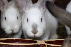 White rabbits. Photographed while feeding Stock Photos