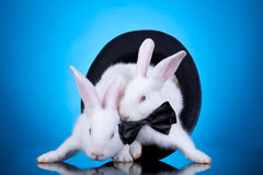 White rabbits pulling themselves out of a hat Royalty Free Stock Photography