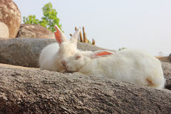 White rabbits on the rock Stock Photo