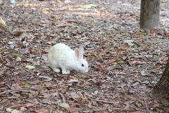 White rabbits are in the wild. White rabbits are in the wild in the dry season Royalty Free Stock Photography
